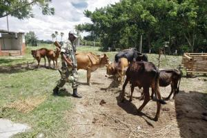Indian Border Security Force soldier guards captured cattle from the unfenced India-Bangladesh border in West Bengal, India